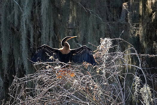 Laurie Perry - Cormorant