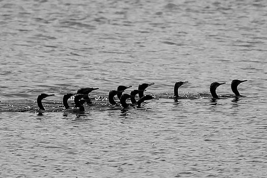 Cormorant on Rampage by Ramabhadran Thirupattur