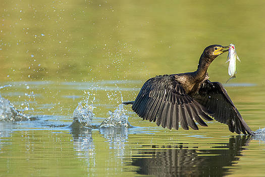 Tam Ryan - Double-crested Cormorant with Fish 2824-112217-1