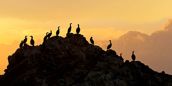 Cormorants on a Rock with Golden Sunset Sky by Sharon Foelz