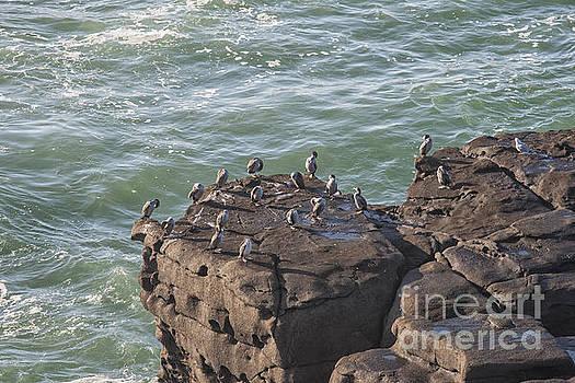 Patricia Hofmeester - Cormorants standing on cliffs