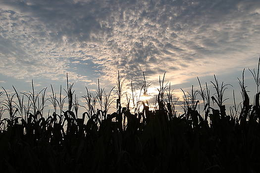 Corn at Sunrise by Paula Anderson