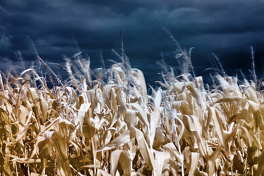 Corn field by Helga Novelli