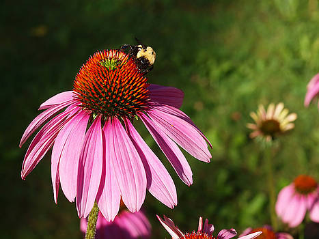 Corn Flower with Bee by Valerie Morrison
