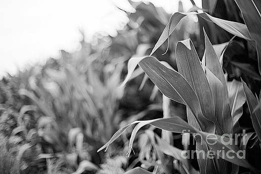 Corn in Black and White by Sandy Adams