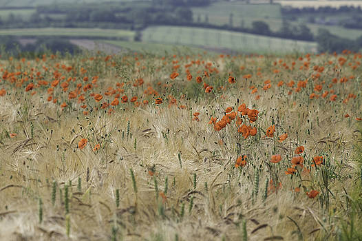 Corn Poppies and Wheat by Wendy Chapman