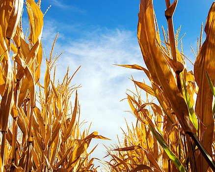 Corn Rows by William Havle