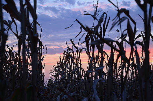 Corn Silhouette by Betsy Armour