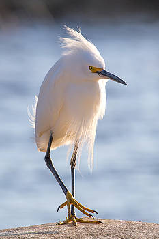 Cornered Egret by Diana Marcoux