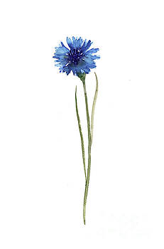 Cornflower Blue Botanical Illustration, Knapweed Watercolor Painting Blue Floral Living Room Decor by Joanna Szmerdt