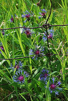 Cornflower Caged by Larysa  Luciw