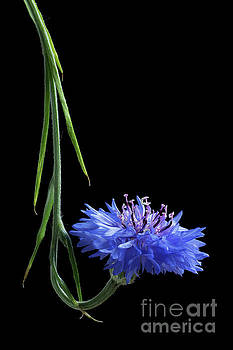 Cornflower Curl by Ann Garrett