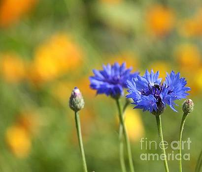 Cornflowers -1- by Issabild -