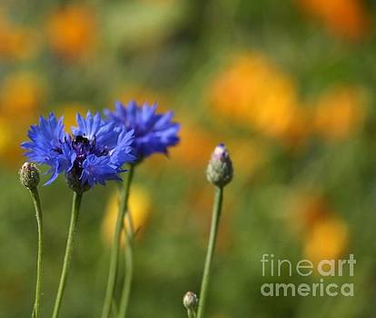 Cornflowers -2- by Issabild -