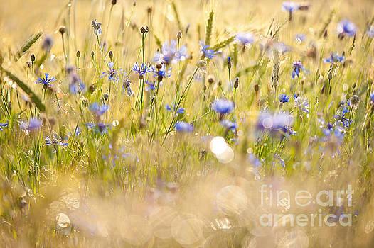 Cornflowers after the rain by Arletta Cwalina