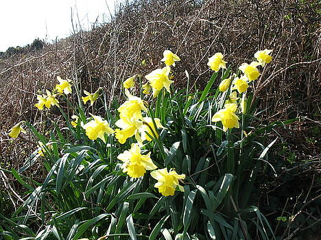 Cornish Daffodils by Tony Payne
