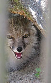 Corsac Fox- Vulpes Corsac 01 by Ausra Huntington nee Paulauskaite