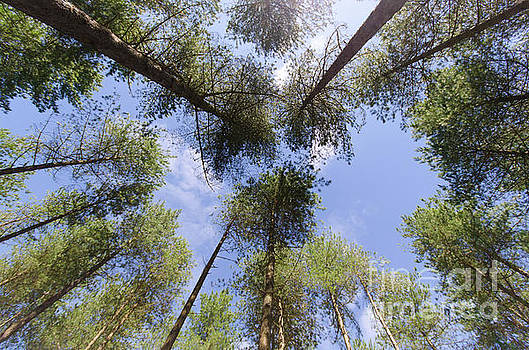 Corsican Pine Canopy by Steev Stamford