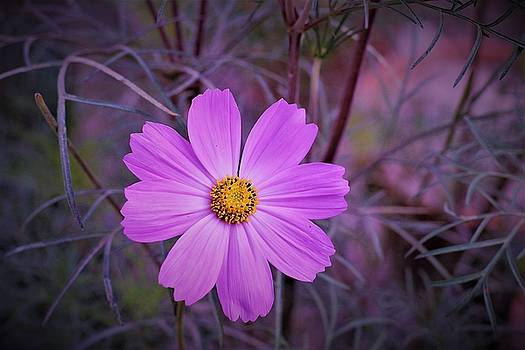 Cosmos complexion by Khalid Saeed