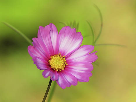 MTBobbins Photography - Cosmos Daisy and Green