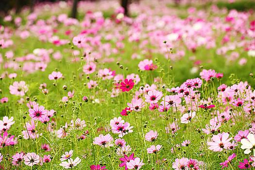 Cosmos Flower field by Keattikorn Samarnggoon