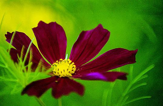 Cosmos Flower by Lonnie Paulson