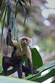 Costa Monkey 3 by Dillon Kalkhurst