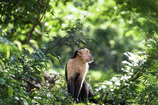 Costa Rica Capuchin Monkey by Michael Santos