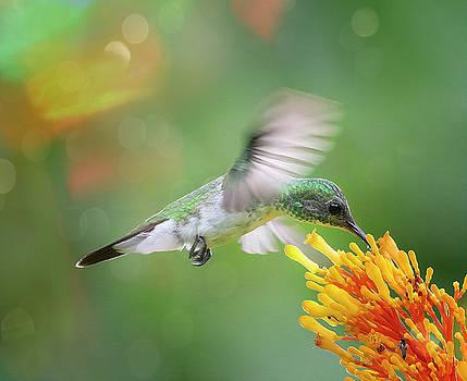 Costa Rica Hummingbird by Joan Carroll