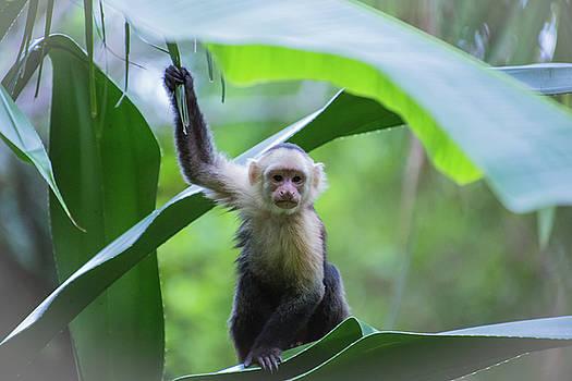 Costa Rica Monkeys 1 by Dillon Kalkhurst
