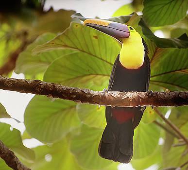 Costa Rican Toucan by Joan Carroll