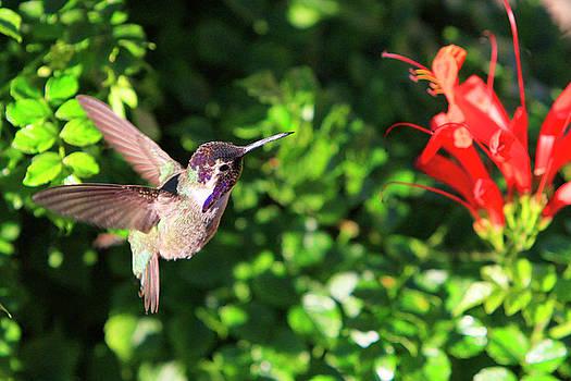 Costas Hmmingbird in Flight by Shoal Hollingsworth