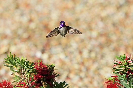 Costas in Flight by Shoal Hollingsworth