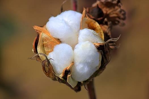 Cotton Boll by Barry Jones