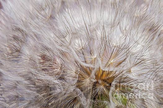 Cotton Dandelion by Iris Greenwell