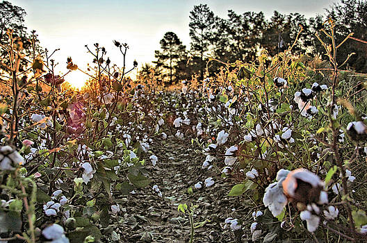 Cotton Felds Back Home by Ben Prepelka