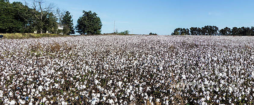 Cotton Field by Thomas Marchessault