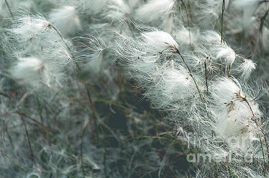 Mariusz Talarek - Cotton grass