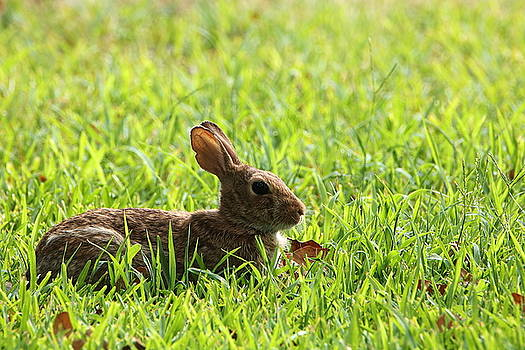 Cotton-tail Rabbit Lying in Grass by Sheila Brown