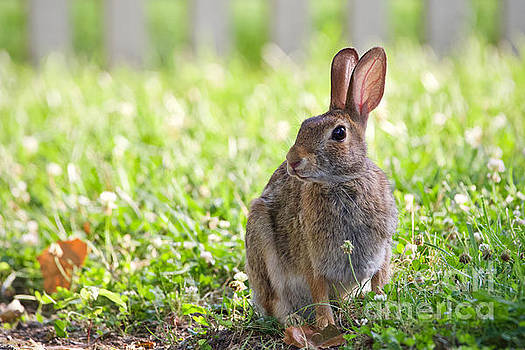 Cottontail Rabbit on a June Afternoon by Rachel Morrison