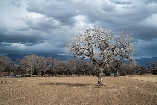 Cottonwood at the Albuquerque Open Space Visitor Center by Mary Lee Dereske