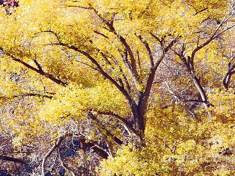 Cottonwood golden leaves by Annie Gibbons