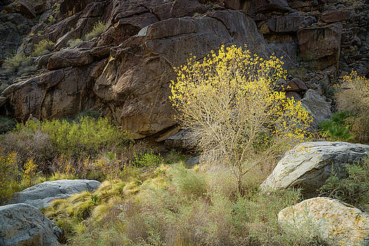 Cottonwood in Borrego Palm Canyon by Alexander Kunz