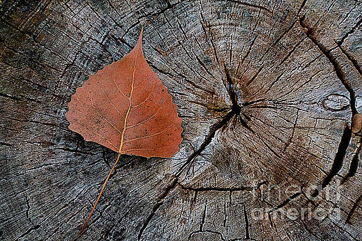 Cottonwood leaf on stump by Jim Wright