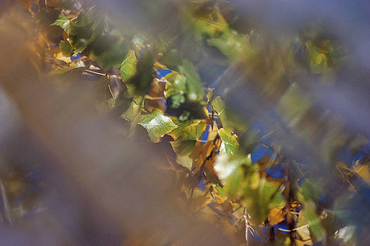 Cottonwood leaf reflections against blue sky, in water on deck by Beth Partin