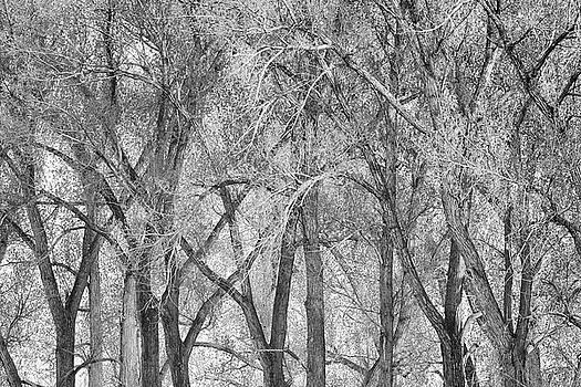 Cottonwoods by Greg Vaughn