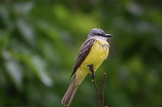 Couch's Kingbird by James Petersen