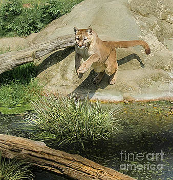 Cougar jumping across a stream by Brian Tarr