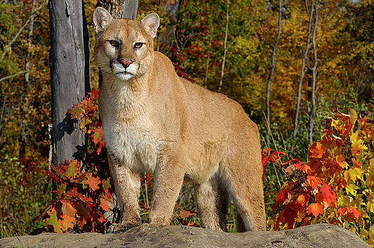 Reimar Gaertner - Cougar staring while standing on a rock in an Autumn forest with