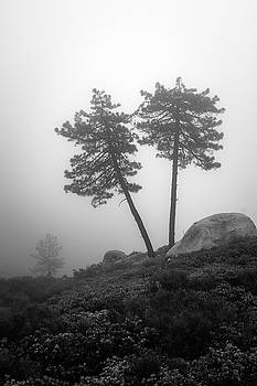 Coulter Pines in Fog by Alexander Kunz